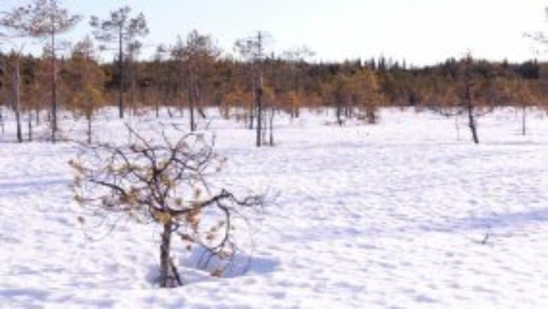 árvore na neve